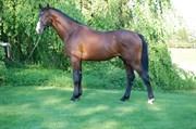 Hest til salg - Cantador