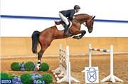 Hest til salg - Dito - Holsteiner