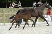 Hest til salg - FREDENSDALS FRANCISCO