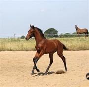 Hest til salg - ZOPHIA OVERSKOVLUND