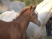 Hest til salg - Skærgårdens Burning Love
