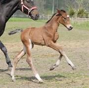 Hest til salg - SOLBAKKEN'S SIR LOXLEY