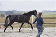 Hest til salg - DONNA O'PHELIA VG