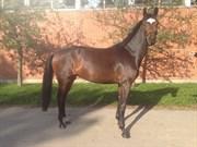 Hest til salg - SACHA