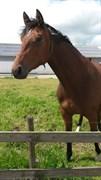 Hest til salg - PATCHOULI