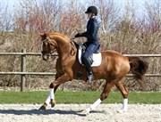 Hest til salg - SEMINO ATTRUP