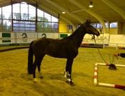Hest til salg - CHIANTI - O