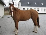 Hest til salg - BØGENSMINDES FLYING SPARKELS