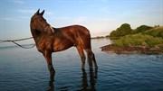 Hest til salg - SØKJÆR'S ROMEO