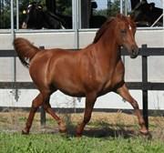 Hest til salg - WALIHMA OX