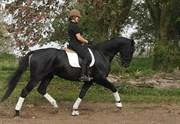Hest til salg - CHREVI´S SPUTNIK