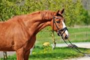 Hest til salg - VIDTSKUES LAWELL
