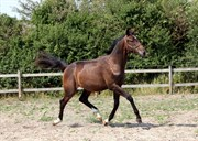 Hest til salg - HL ZOLANA