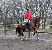 Hest til salg - HVEDHOLMS WILLIAM