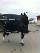 Hest til salg - HALKJÆRS UFFE