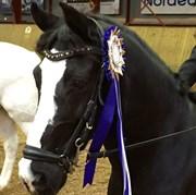 Hest til salg - Blacky