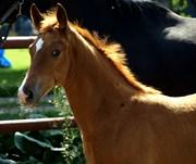 Hest til salg - Lindballe`s Colton