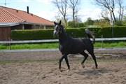 Hest til salg - DOLCE GABBANA