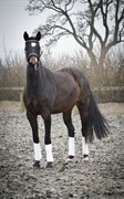 Hest til salg - TAYLOR DAYNE