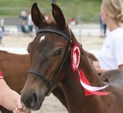 Hest til salg - LEISMANNS ENIGMA