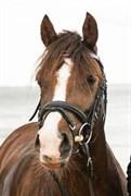 Hest til salg - KASTANIEHØJS G-STAR