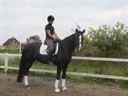 Hest til salg - VIENNA STV