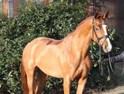 Hest til salg - Fürstin Blumenwiese