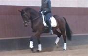 Hest til salg - IDOLA