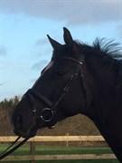 Hest til salg - SILHOUETTE