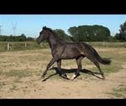 Hest til salg - Liberty Dance