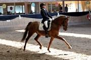 Hest til salg - SL Cuba