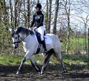 Hest til salg - VARMINGLUNDS O' CONNER