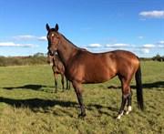 Hest til salg - CATELINA NOVA