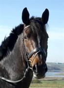 Hest til salg - MISHELING