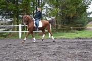 Hest til salg - PINOCCHIO