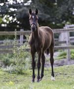 Hest til salg - SIR FASHION TM