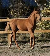 Hest til salg - MULBERRY G