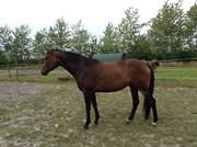 Hest til salg - Abbey