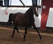 Hest til salg - CORTEX LUX.DK
