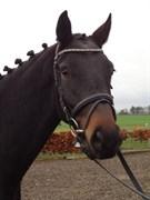 Hest til salg - MAX MAGIC