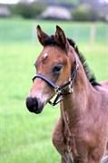 Hest til salg - NORDSTRANDS CARAMELLO