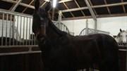 Hest til salg - FERRERO KISS T