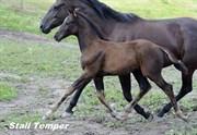 Hest til salg - True Romance
