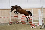 Hest til salg - ROYAL HIGHNESS