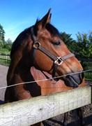Hest til salg - ARMANI