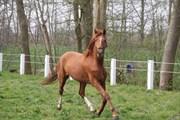 Hest til salg - HERSLEV MARK'S ZAIRE