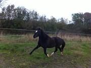 Hest til salg - GROVES (DK) LOLITA