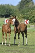 Hest til salg - DASHING