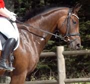 Hest til salg - PIRANA V