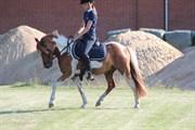 Hest til salg - STENLUNDS SONNY